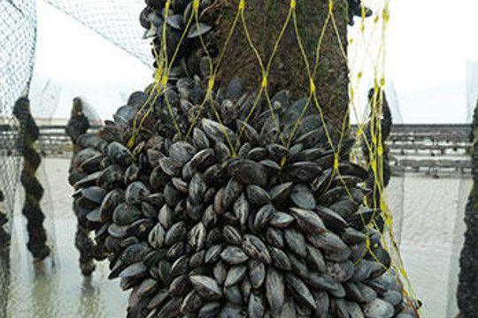 Filet de catinage biodégradable pour les moules de bouchot